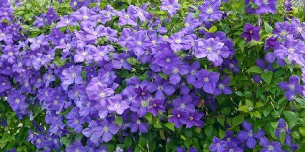 Цветы на балконе: клематис