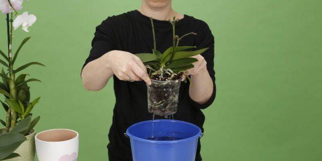 Как поливать орхидею: поднимите горшок, чтобы избавиться от излишков воды