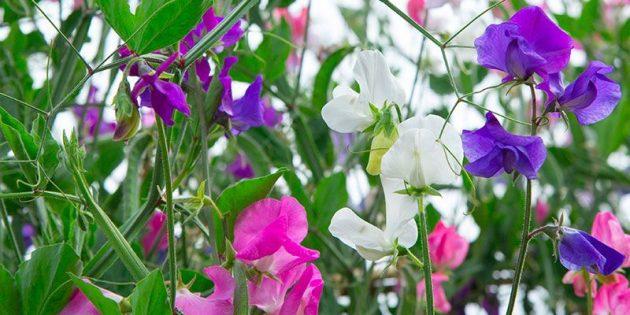 Цветы на балконе: душистый горошек