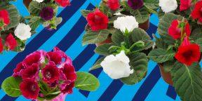 Как ухаживать за глоксинией, чтобы у неё было много цветов
