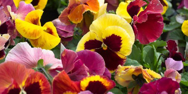 Цветы на балконе: виола