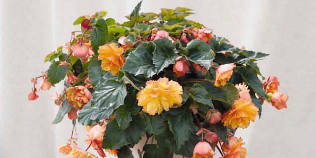 Цветы на балконе: бегония клубневая