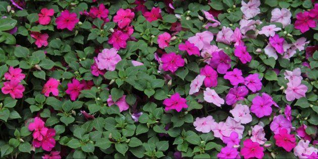 Цветы на балконе: бальзамин