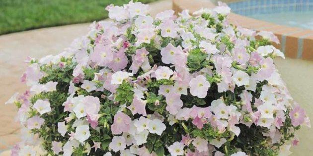 Цветы на балконе: петуния