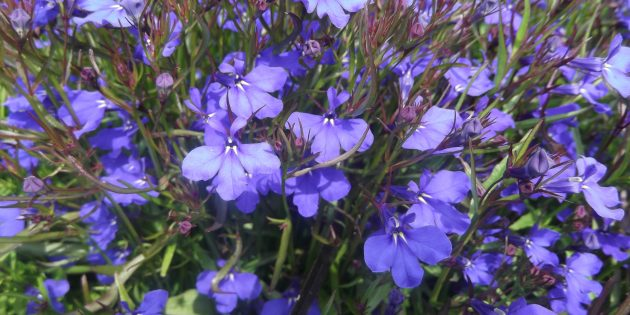 Цветы на балконе: лобелия