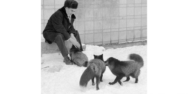 Домашняя лиса как результат генетического эксперимента: Дмитрий Беляев с приручёнными лисами