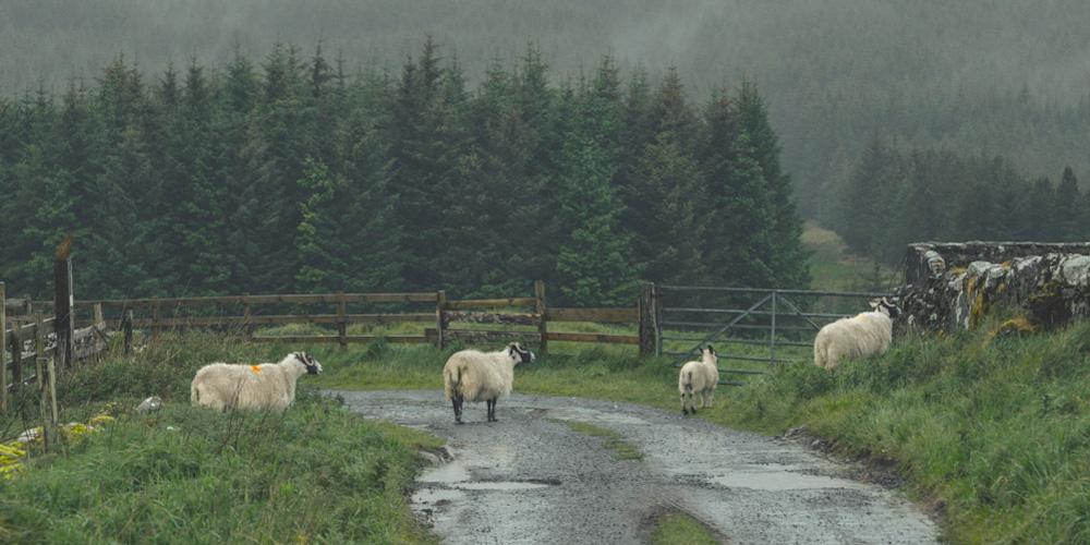 Пугливые шотландские овцы