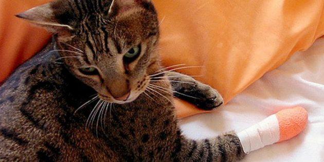 Агрессия кошки как реакция на боль