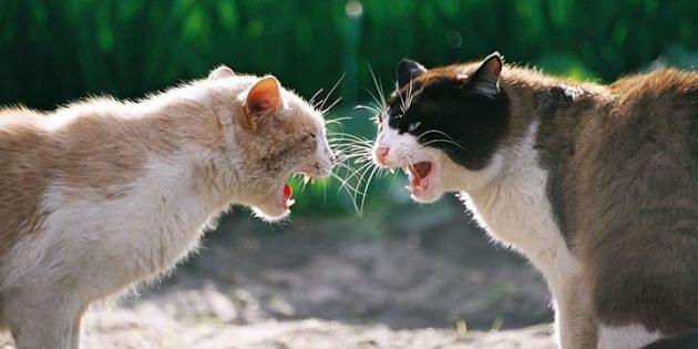 Часто агрессия котов вызвана гормонами