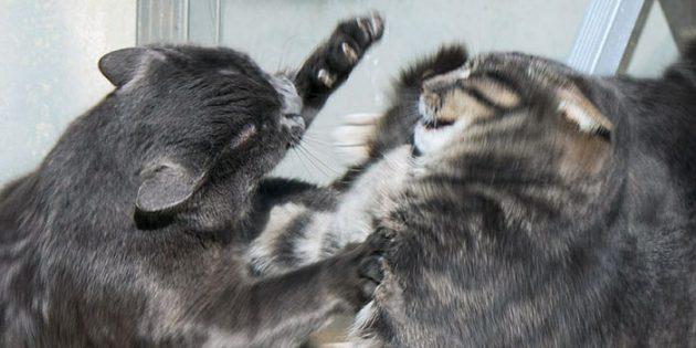 Территориальная агрессия кошки