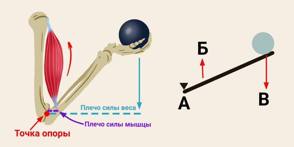 Принцип рычага в работе бицепса плеча