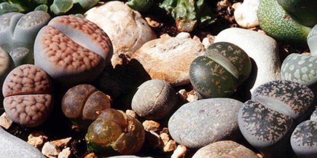 Суккуленты: живые камни