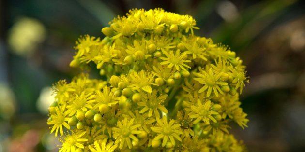 Так цветёт эониум арбореум