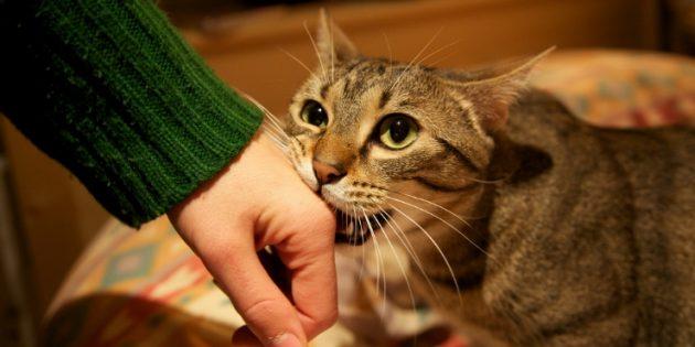 Иногда кошки перенаправляют агрессию на людей