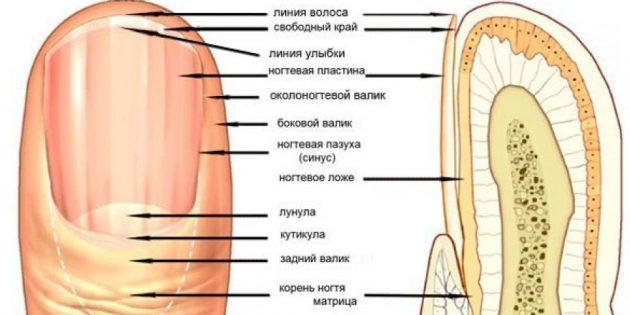 Устройство ногтя