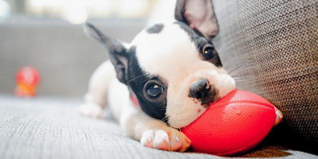 Начинайте воспитывать собаку с первого дня