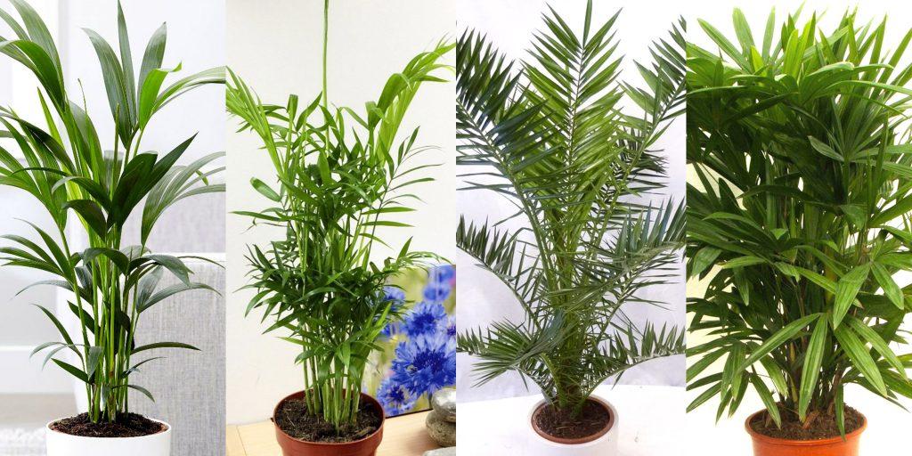 Пальмовые или какие пальмы можно выращивать в домашних условиях