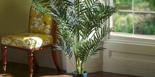 Комнатная пальма арека