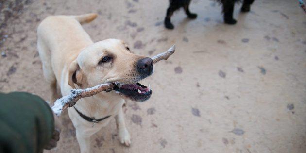 Воспитание собаки: дай