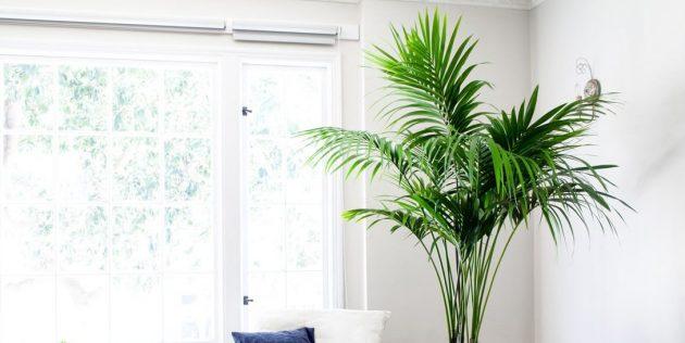 Комнатные пальмы: ховея Форстера