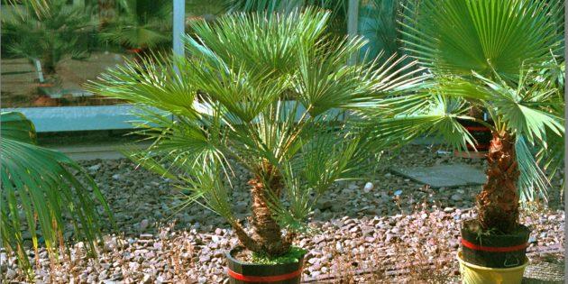 Домашние пальмы: хамеропс приземистый