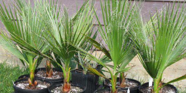 Комнатные пальмы: вашингтония нитеносная