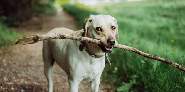 Воспитание собаки: апорт
