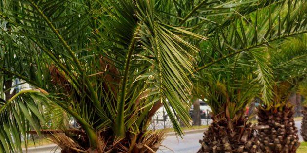 Домашние пальмы: финик Робелена