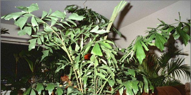 Домашние пальмы: кариота нежная