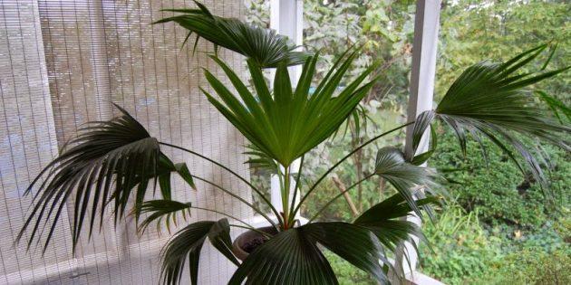 Комнатные пальмы: ливистона китайская