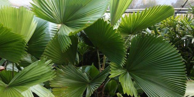Домашние пальмы: ликуала щитовидная