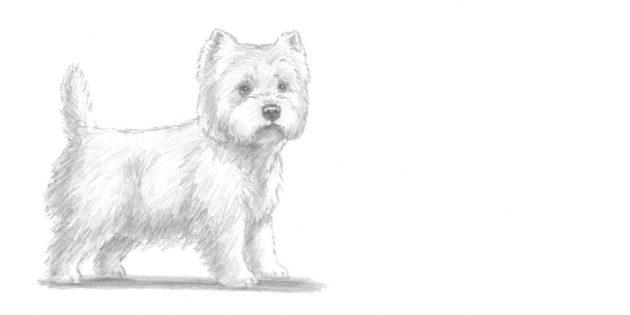 Как нарисовать стоящую собаку в реалистичном стиле