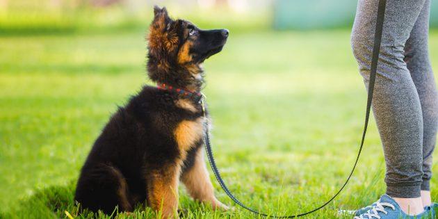 Воспитание собаки: сидеть