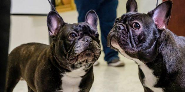 породы собак для квартиры: французский бульдог
