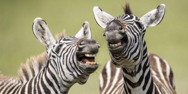 Самые смешные фото животных — зебры