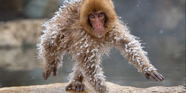 Самые смешные фото животных — застывшая обезьяна