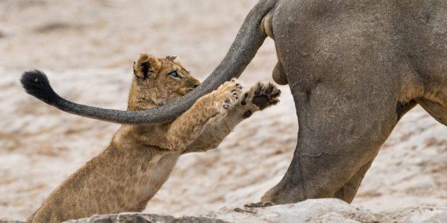Самые смешные фото животных — львёнок