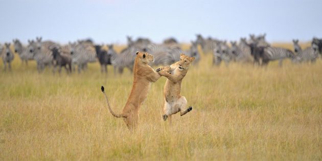 Самые смешные фото животных — львицы