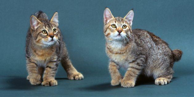 Большие кошки: пикси-боб