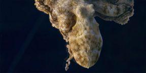 Видео дня: как меняется цвет кожи осьминога, когда он видит сны