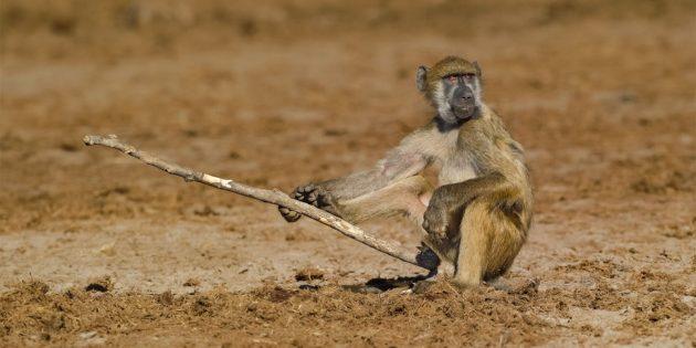Самые смешные фото животных — обезьяна с палкой