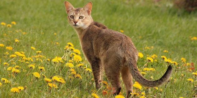 Большие породы кошек: шаузи