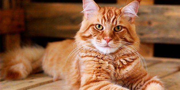 Большие кошки: мейн-кун