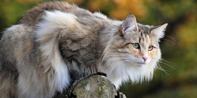 Крупные породы кошек: норвежская лесная