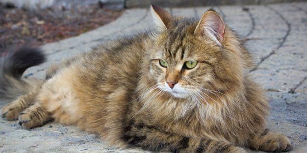 Большие породы кошек: сибирская