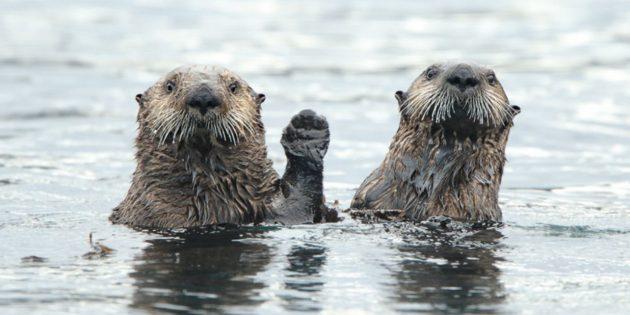 Самые смешные фото животных — две выдры