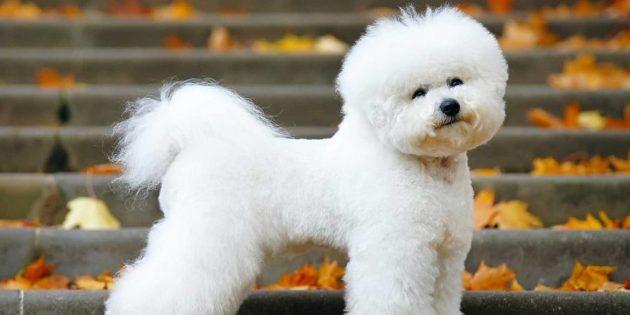 породы собак для квартиры: бишон-фризе