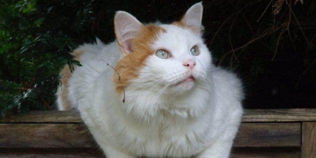 Большая турецкая ванская кошка