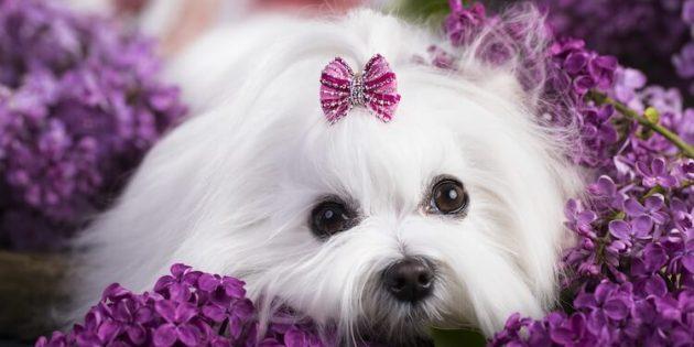 породы собак для квартиры: мальтийская болонка