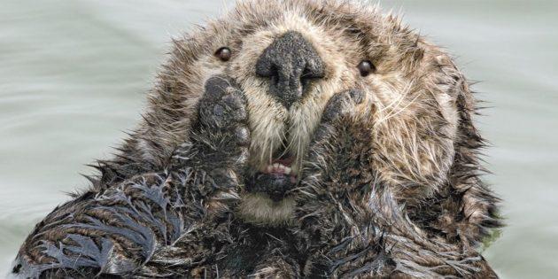 Самые смешные фото животных — удивлённая выдра